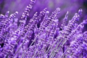 Lavender SEAMS Hand Cream